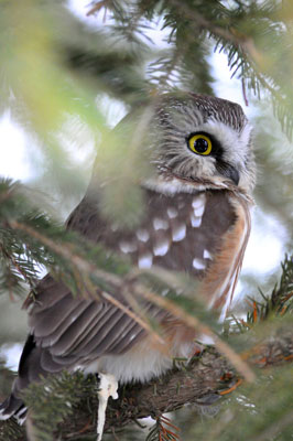 Northern Saw-whet Owl in Algonquin Park