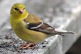 BAmerican Goldfinch in Algonquin Park