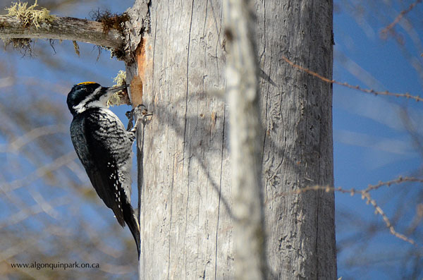 Black-backed Woodpecker in Algonquin Park