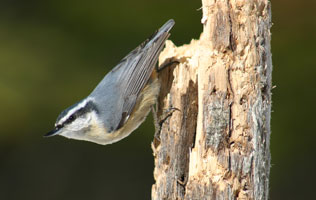 Red-breated Nuthatch in Algonquin Park