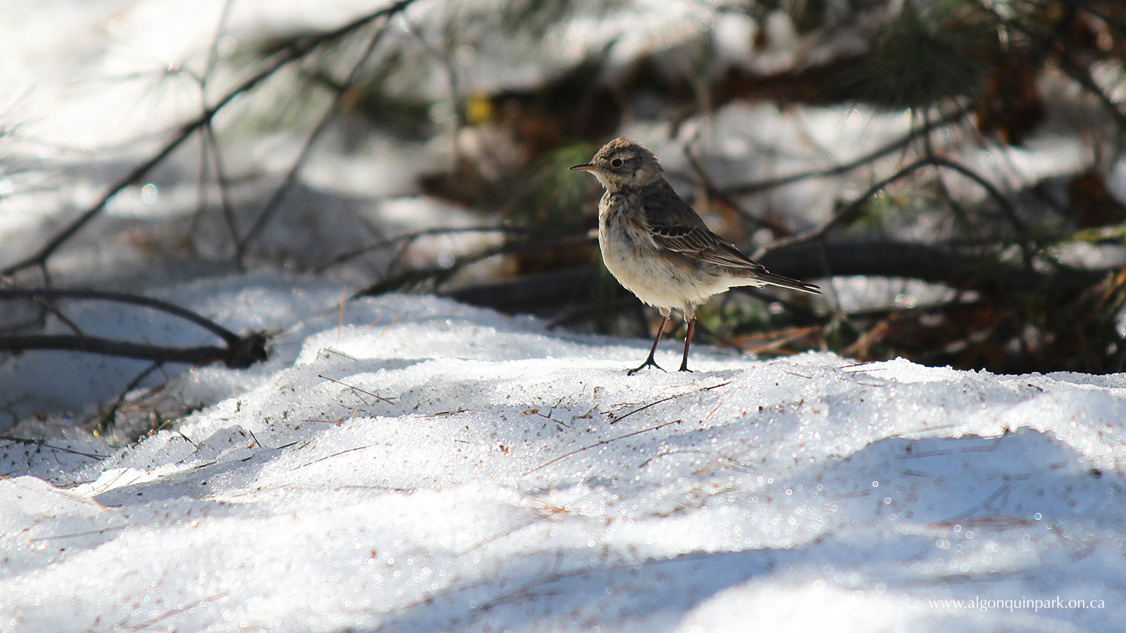 American Pipit at the Algonquin Park Visitor Centre