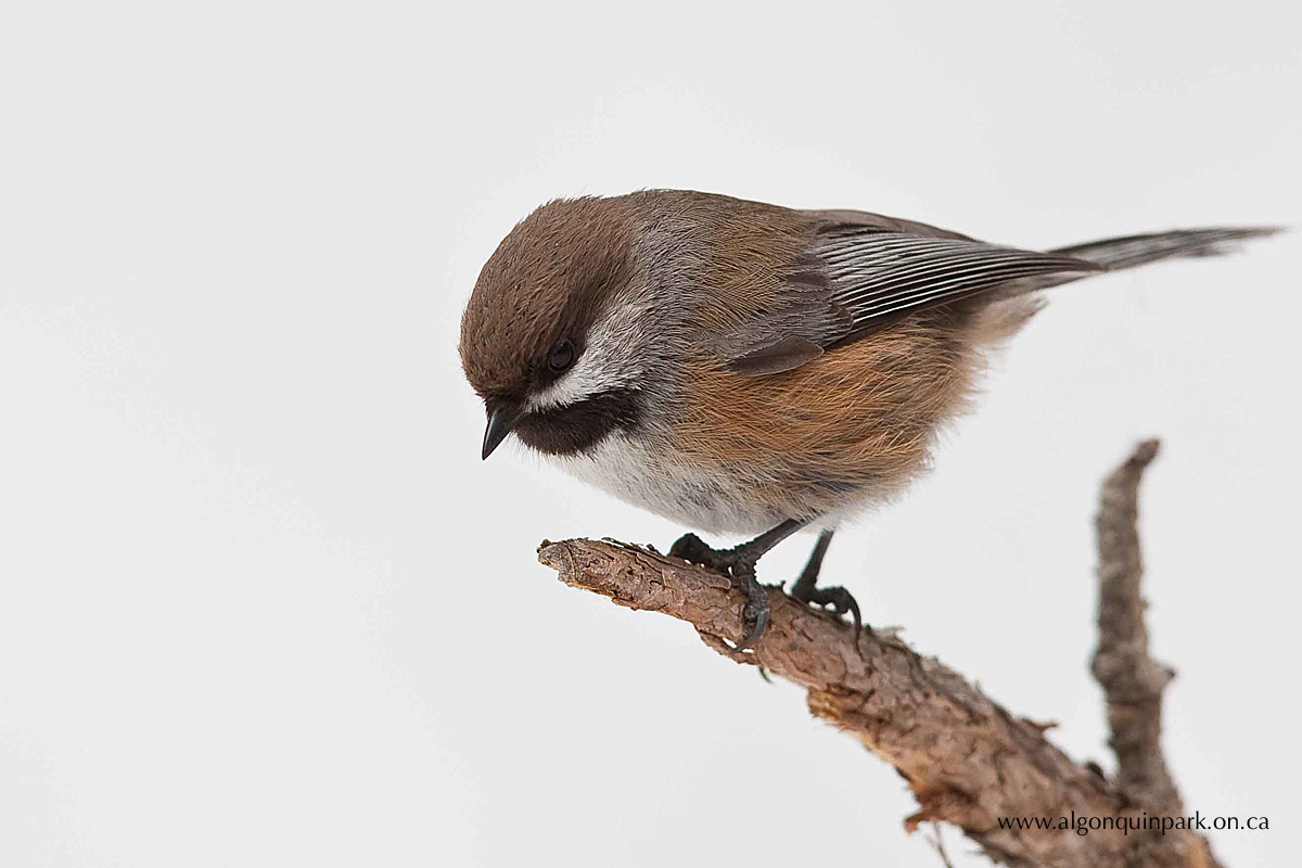 Boreal Chickadee in Algonquin Park by Michael Runtz