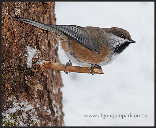 Boreal Chickadee in Algonquin Park. Photo by Tony deGroot.