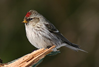Common Redpoll in Algonquin Park