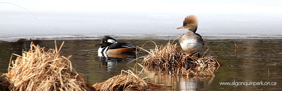 Hooded Mergansers in Algonquin Park