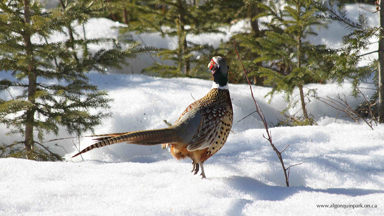 Ring-necked Pheasant in Algonquin Park