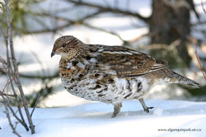 Ruffed Grouse in Algonquin Park