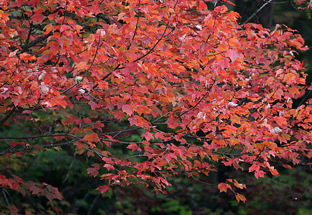 Red Maples in Algonquin Park on September 28, 2015
