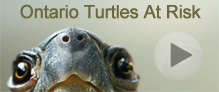 Ontario's Turtles at Risk