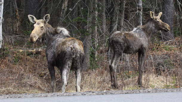 Cow Moose and Yearling in Algonquin Park